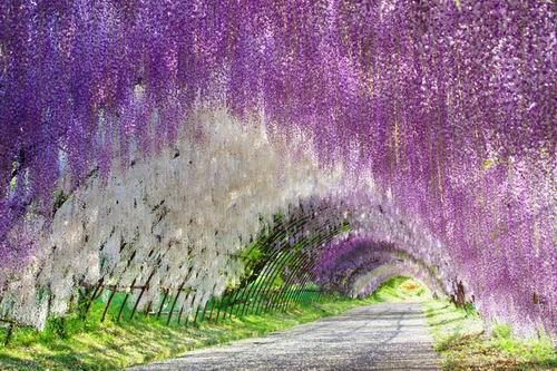 Inilah-16-taman-bunga-yang-indah-di-Jepang-yang-wajib-dikunjungi-wisatawan-13