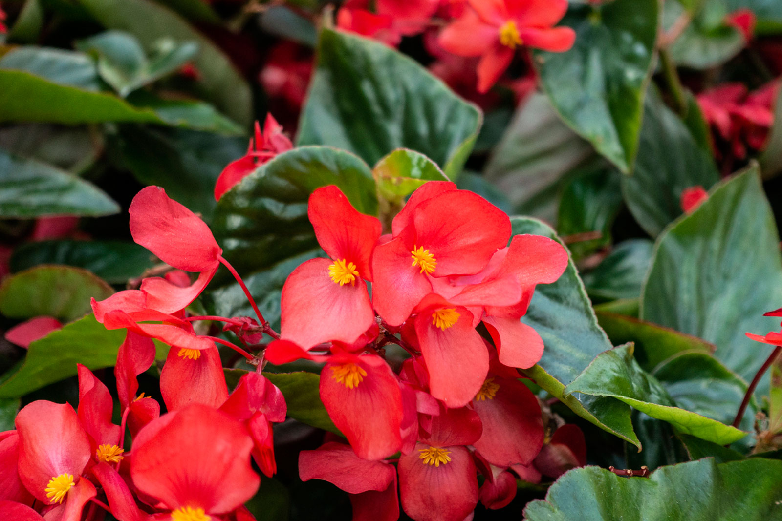 annual-begonia