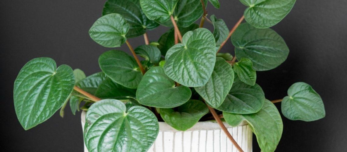 Peperomia-Plant-Care-11