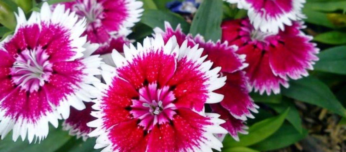 Tanaman-Hias-Bunga-Cantik-660x330