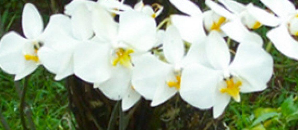 anggrek-bulan-phalaenopsis-amabilis
