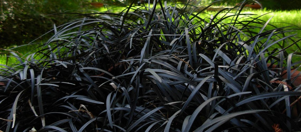 black-mondo-grass