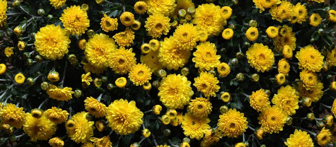 chrysanthemums-flowers-flowerbed