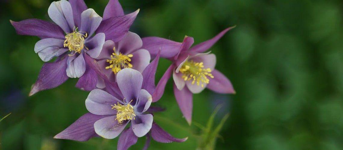 columbine-flower