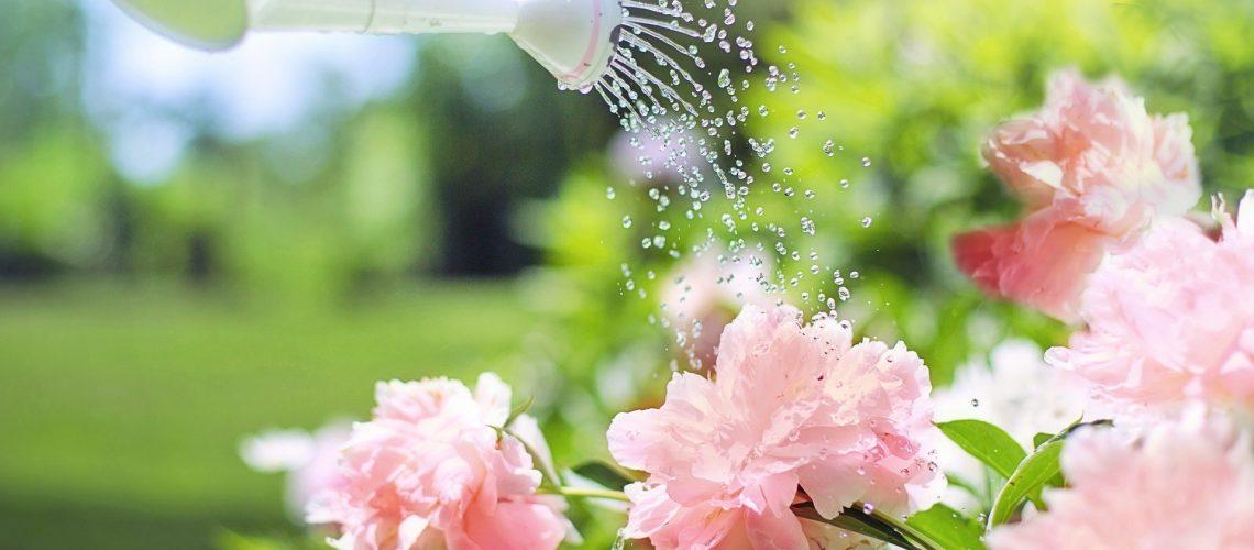 menyiram-tanaman-bunga-pink-dengan-penyiram-tanaman-perak