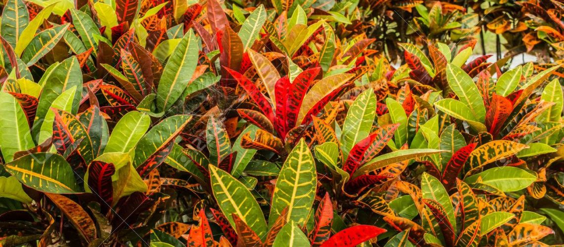 colorful croton plant,tropical tree leaf texture.