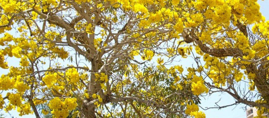 tabebuia kuning