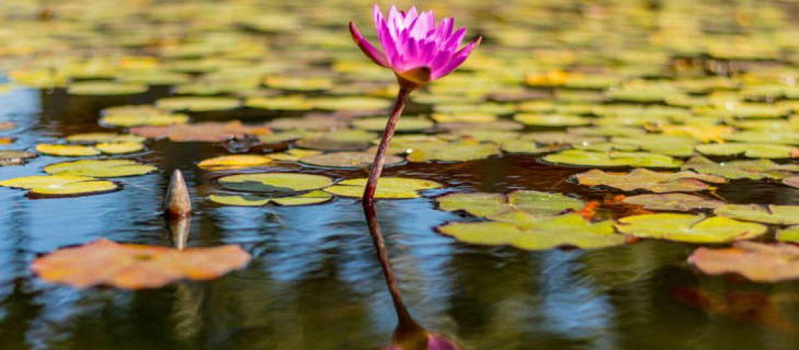tanaman-air-kolam-terbaik