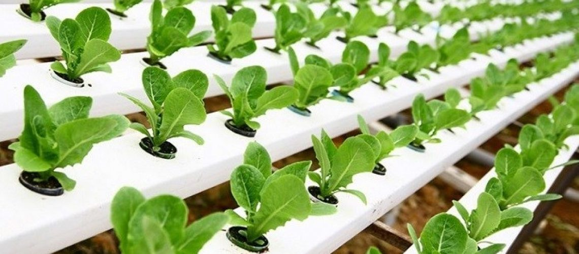 tanaman-hidroponik