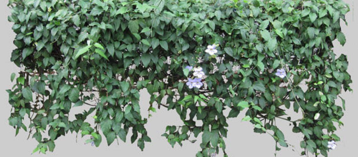 tanaman merambat thunbrgia