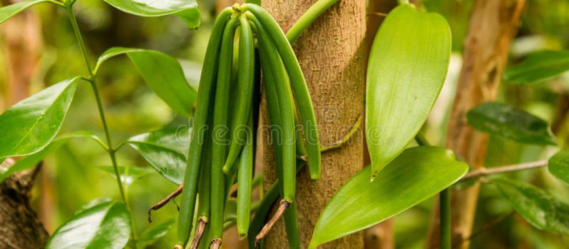 vanilla-plant-green-pod-37428560