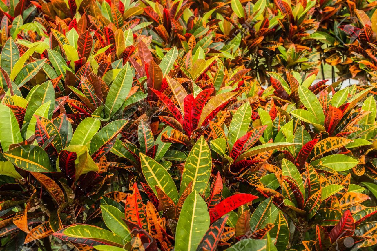 colorful croton plant,tropical tree leaf texture.